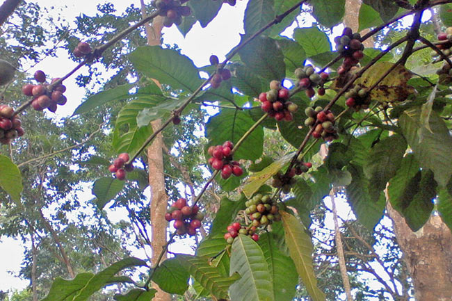 coffeecherry